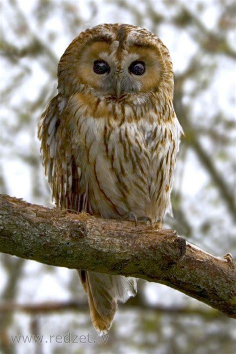 Meža pūce | Animals, Puce, Bird