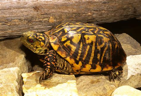 box turtle turtles in oklahoma
