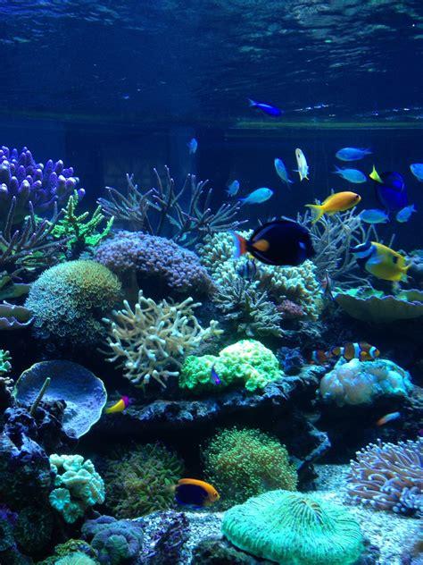 entretien aquarium eau de mer coraux d 233 levage dans aquarium d eau de mer