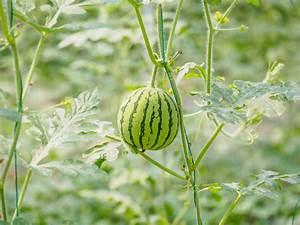 Kräuter Pflanzen Topf : wassermelone pflanzen im topf so gelingt 39 s ~ Lizthompson.info Haus und Dekorationen