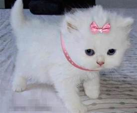 princess cat princess kitten cats