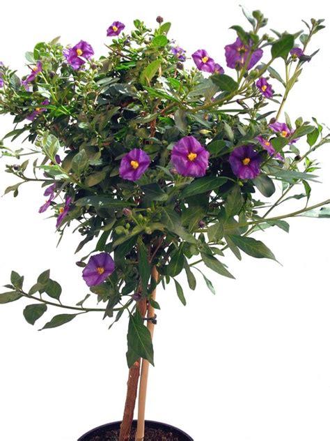 enzianstaemmchen blau pflanzenklick