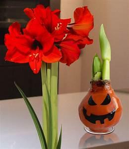 Amaryllis In Wachs : wachs amaryllis hallowaxy 1a qualit t baldur garten ~ Lizthompson.info Haus und Dekorationen