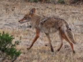 Baby Desert Coyotes