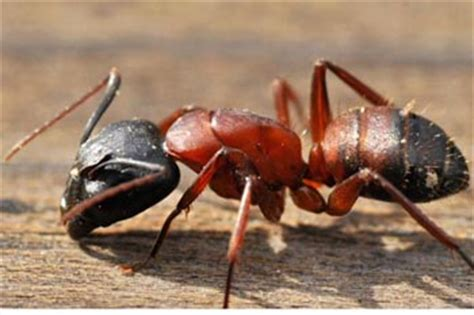 maine pests solutions  carpenter ants