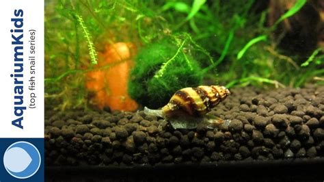 top  freshwater snails  uhd youtube