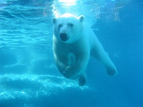 Photo Of Swimming Polar Bear, St Félicien Zoo