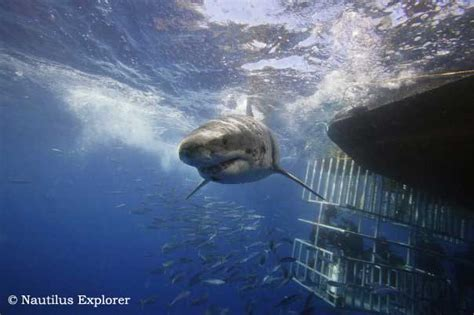 Liveaboard Boats For Rent San Diego by Great White Shark Cage Diving Isla De Guadalupe Mexico