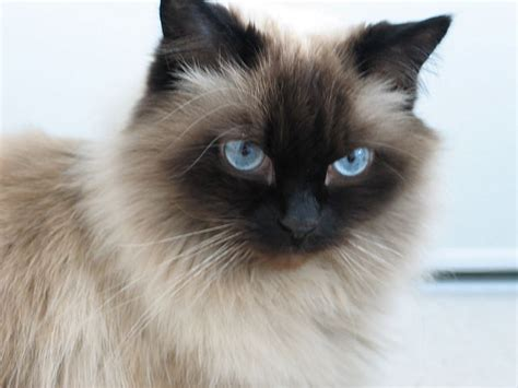 5 Things You Didn't Know About The Himalayan Cat