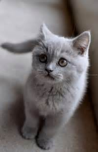 British Kitten Shorthair Cat Grey