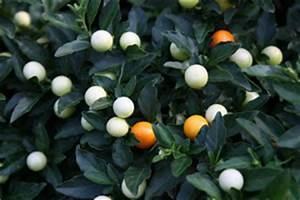 Zimmerpflanze Weiße Blüten : korallenstrauch solanum pseudocapsicum pflege des korallenb umchens ~ Markanthonyermac.com Haus und Dekorationen