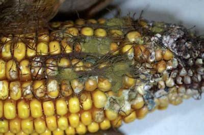 risk  aflatoxin contamination increases  hot  dry