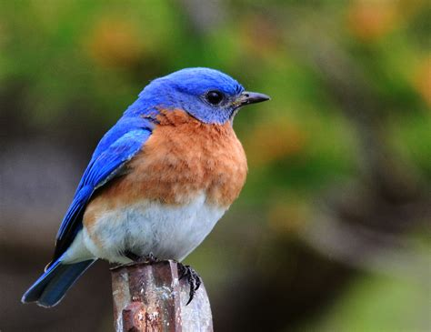 bluebird nesting box program from the peninsula nature