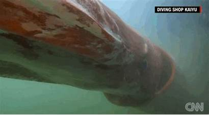 Giant Squid Giphy Sea Creature Biology Marine