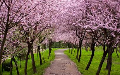 Trees Wallpapers Blossom Nature Cherry Pink Desktop