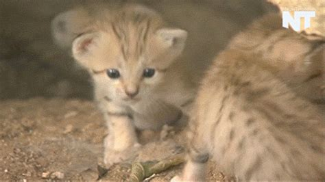 9 Things You Didn't Know About The Sand Cat  Mnn Mother