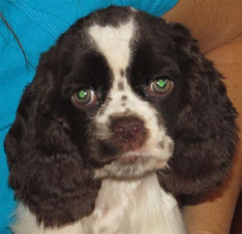 Cuttinbluefarms has puppies for sale on akc puppyfinder. File:Chocolate Parti American Cocker Spaniel Puppy.jpg - Wikimedia Commons
