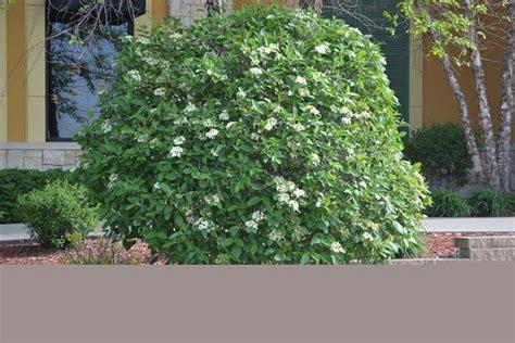 viburno in vaso viburnum lantana piante da giardino caratteristiche