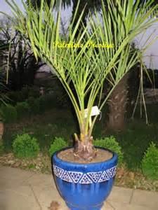 quel palmier en pot exterieur 28 images arbustes et arbrisseaux comparez les prix pour