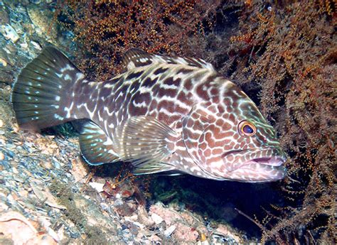 haemulon grunt fish french florida prey species groupers townsend judy pred