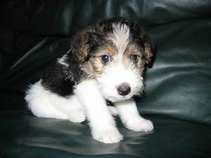 Wire Fox Terrier - Pictures, Information, Temperament ...
