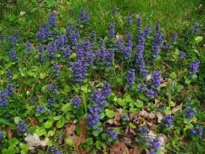 Bodendecker Blaue Blüten : bl hende bodendecker im schatten 10 pflegeleichte arten ~ Frokenaadalensverden.com Haus und Dekorationen