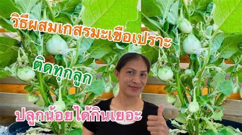 ผักไทยในเบลเยี่ยมวิธีผสมเกสรมะเขือเปราะติดทุกลูกปลูกน้อยใด้กินเยอะ ทำอย่างไรมาดูกันค่ะคนไทยใน ...