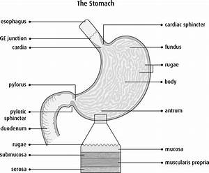 Anatomy And Physiology Of The Stomach