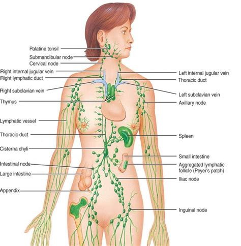 lymph nodes  neck diagram location nursing school