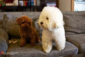 My Pet Family - Teddy Bear dog and Bichon by Papayama on ...