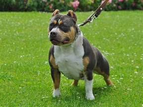 history of choclate the tri color american bully why it has an uncommon three colored coat american bully