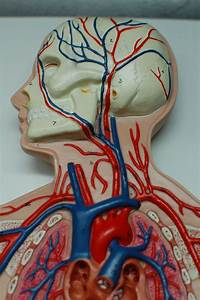 Human Anatomy Lab  Arteries And Veins