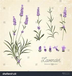 Vintage Set Lavender Flowers Elements Botanical Stock ...