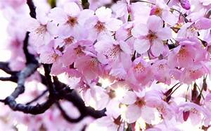 Free, Japanese, Cherry, Blossoms, Stock, Photo