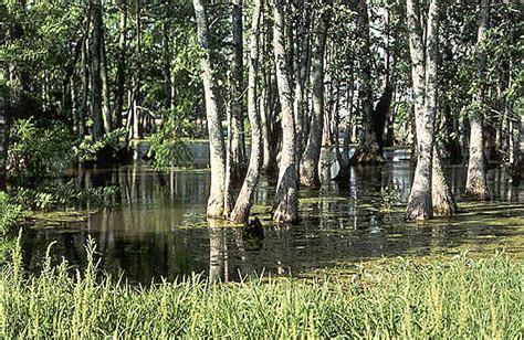 wetland trees blessings of wetlands