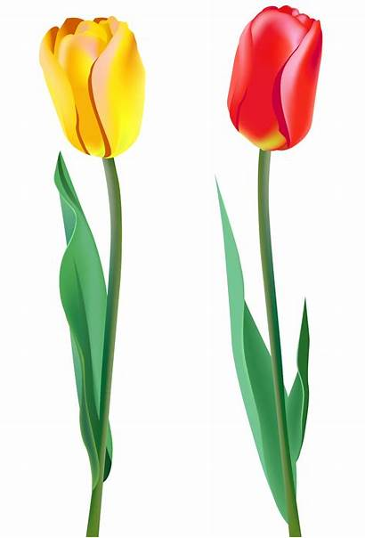 Tulip Tulips Clipart Clip Spring Cliparts Transparent