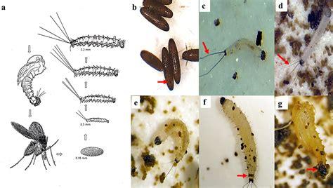 laboratory colonization  mass rearing  phlebotomine
