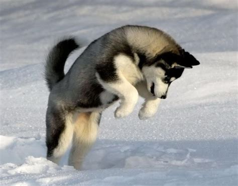 The 20 Best Cold Weather Dog Breeds