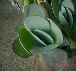 silver plate kalanchoe plant