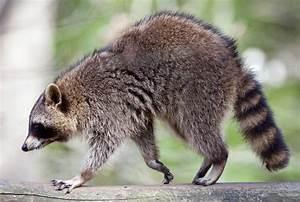 Was Fressen Waschbären : araiguma rasukaru ist schuld waschb r plage in japan n ~ Frokenaadalensverden.com Haus und Dekorationen
