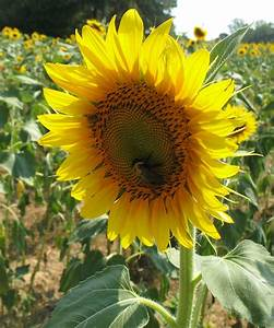 Using Georgia Native Plants: Hooray for Helianthus!