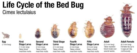 do bed bugs come out when the lights are on bed bug control bakersfield ca bez valley pest control