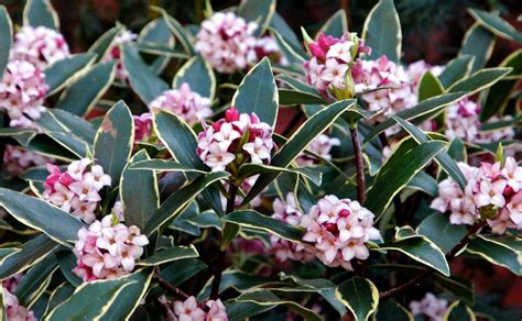 Daphne Odora Aureomarginata  Fragrant Hardy Evergreen Shrub