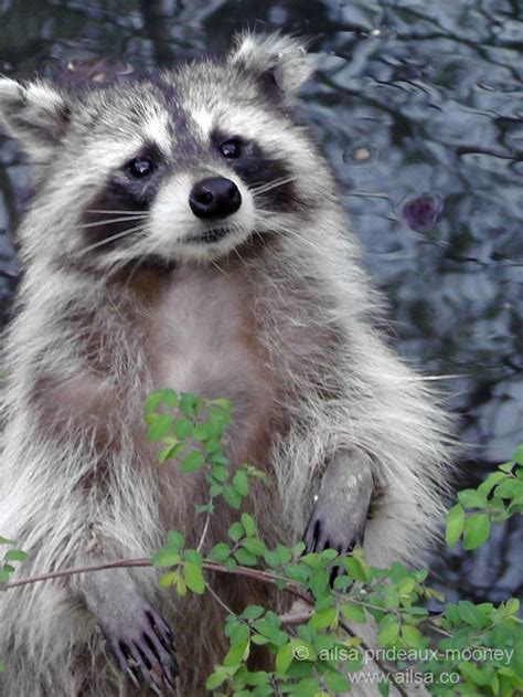 raccoons images  pinterest adorable animals