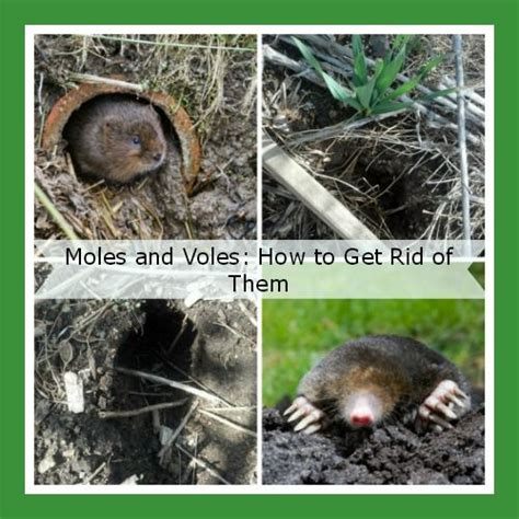 getting rid of moles how to get rid of garden moles humanely garden ftempo