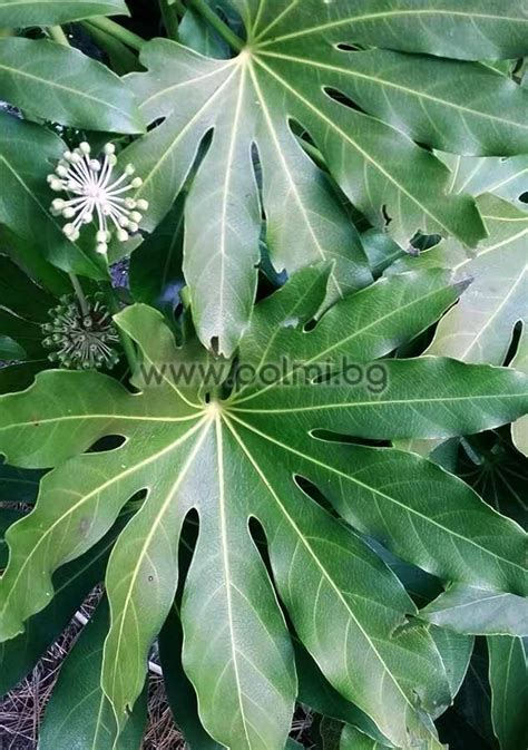 fatsia japonica moseri japanische aralie