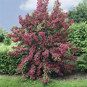 Blühende Hecken Sträucher : weigelie bristol ruby rot bl hend 2 str ucher ebay ~ Watch28wear.com Haus und Dekorationen