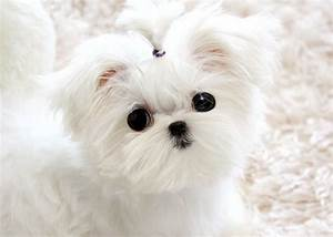 maltese puppies | MS Puppy Connection