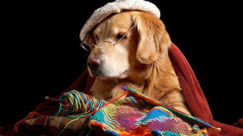 배경 화면 재미 있은 개, 리트리버, 안경, 모자, 뜨개질 1920x1200 Hd 그림, 이미지