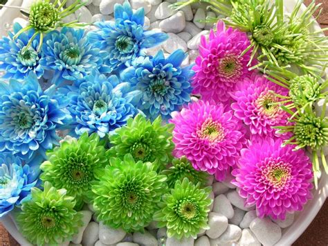 different colored different colored dahlia flower hd flowers wallpapers